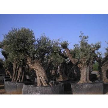Olivos centenarios de decoraci n olivos 14217 agroterra for Viveros de olivos