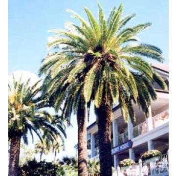 Palmeras canariensis palmeras 14220 agroterra - Variedades de palmeras de exterior ...