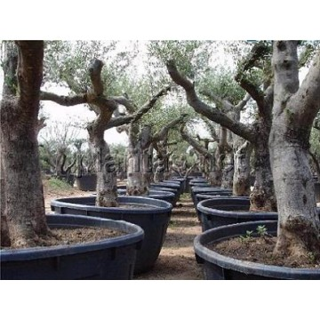 cultivo de olivo en maceta