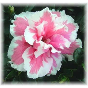 Azalea de interior azalea indica en 8 colores plantas de interior 16137 agroterra - Cuidado de azaleas en interior ...