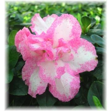 Azaleas de interior azalea indica en 8 colores plantas de interior 16138 agroterra - Cuidado de azaleas en interior ...