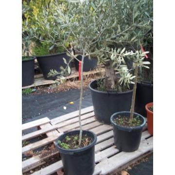 Olivo manzanilla en maceta de 25 cen c tricos y frutales - Olivo en maceta ...