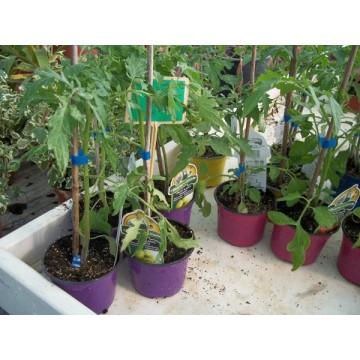 planta de pimiento jalapeño en maceta de 11 cm | hortícolas