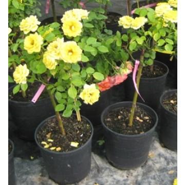Rosal pie alto mini plantones e injertos 3010723 for Viveros el rosal