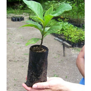 Plantas y semillas forestales plantones plantas e for Plantas forestales