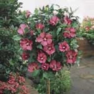 Hibiscus syriacus arbusto en maceta de 22 cm rboles for Hibiscus arbol