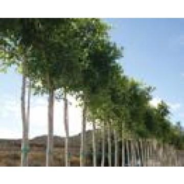 Rboles de sombra rboles arbustos y setos 24959 for Viveros de arboles de sombra