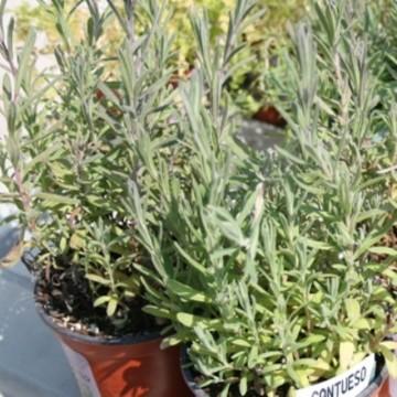 Lavanda dentada de hoja verde en maceta de 14 cm for Cultivo de plantas aromaticas y especias