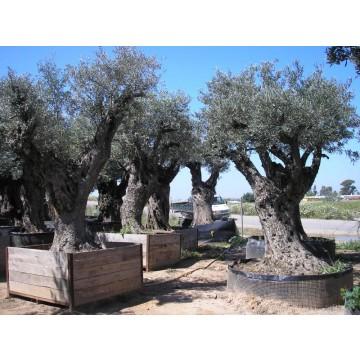 Olivos centenarios de decoraci n olivos 14217 agroterra for Organizacion de viveros