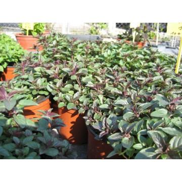 Planta de menta naranja en maceta de 14 cm arom ticas y for Cultivo de plantas aromaticas y especias