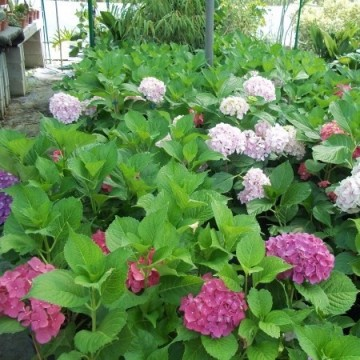 Hortensia Rosa En Maceta De 25 Centimetros Plantas De Temporada - Hortensias-cuidados-maceta