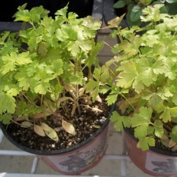 comprar plantas aromaticas. venta online y precios | agroterra