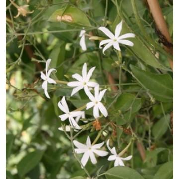 Jazmin oficinalis en maceta de 20 cm plantas y flores for Jazmin planta precio