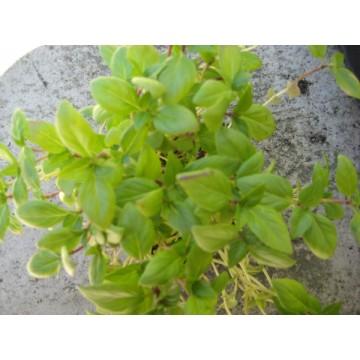 Planta albahaca de hoja ancha en maceta de 14 cm for Cultivo de plantas aromaticas y especias