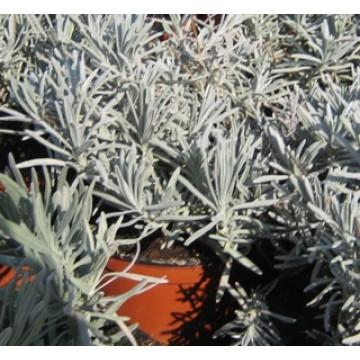 Planta de lavanda arom ticas y especias 3014309 for Cultivo de plantas aromaticas y especias