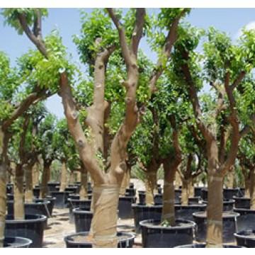 Arboles frutales rboles arbustos y setos 25002 for Viveros arboles frutales