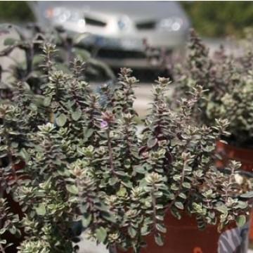 Planta de tomillo real en maceta de 14 cm arom ticas y for Cultivo de plantas aromaticas y especias