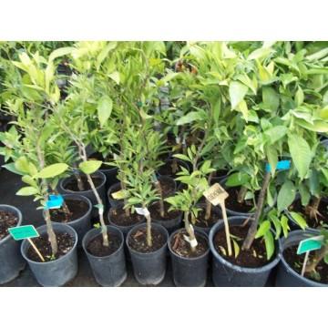Limonero eureka en maceta de 20 cm c tricos y frutales - Limonero en maceta ...