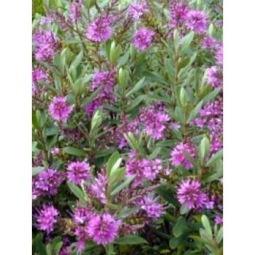 Hebe variedades rboles arbustos y setos 25048 for Hebe arbusto