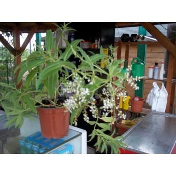 Planta de hierva luisa arom ticas y especias 3014328 for Cultivo de plantas aromaticas y especias