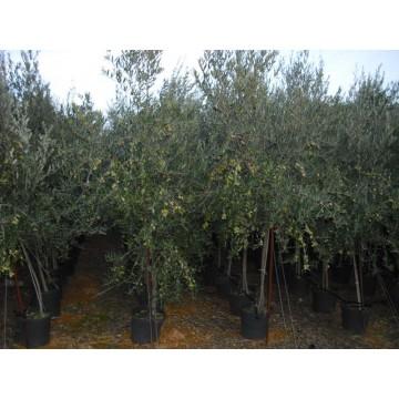 Plantones de olivos olivar 3030179 agroterra for Viveros de olivos