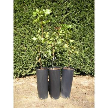 planta de pistacho criada en maceta   plantones e injertos