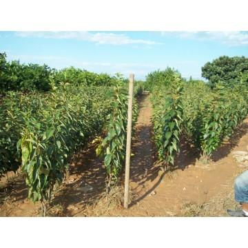 Arbol frutal de kaki fuyu en maceta de 25 c tricos y for Cultivo de arboles frutales en macetas