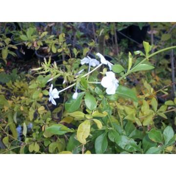 Jazmin plantas y flores 3014335 agroterra for Jazmin planta precio
