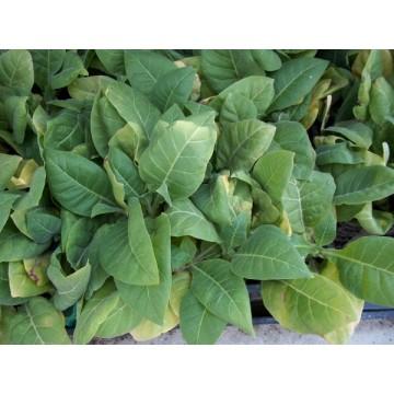 Planta de tabaco rubio en maceta de 14 cm arom ticas y for Cultivo de plantas aromaticas y especias