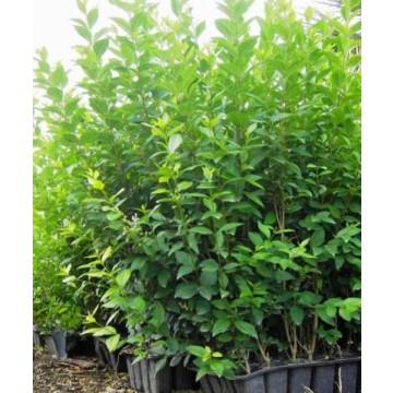 Bamb negro plantas de temporada 3072681 agroterra - Seto de bambu ...