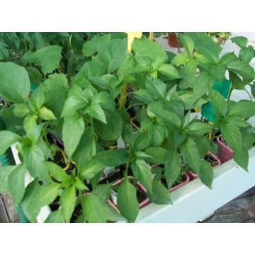 Planta pimiento morron en maceta de 10 cm hort colas - Hierba luisa en maceta ...