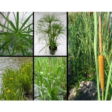 Plantas acu ticas para estanques y fitodepuraci n for Plantas estanque