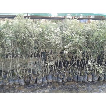 comprar planton olivo picual. venta online y precios | agroterra