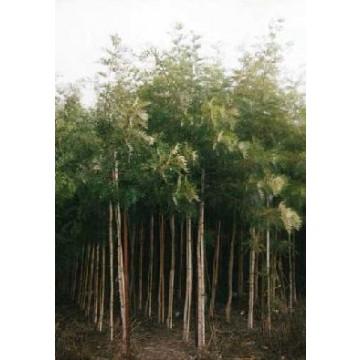 Rboles ornamentales rboles arbustos y setos 24649 for Imagenes de arboles ornamentales