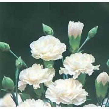 clavel mediterraneo blanco en maceta de 14 cm | plantones, plantas