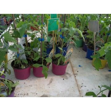 Tomates cherry en maceta top cmo cultivar plantas de for Varias plantas en una maceta