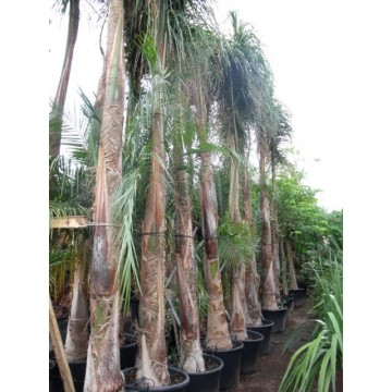 Arecastrum romanzoffianum palmeras 3028449 agroterra for Organizacion de viveros