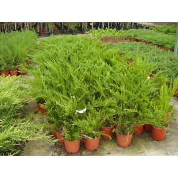 Planta de pistachos y todo tipo de plantas foretales y for Jardineria y plantas