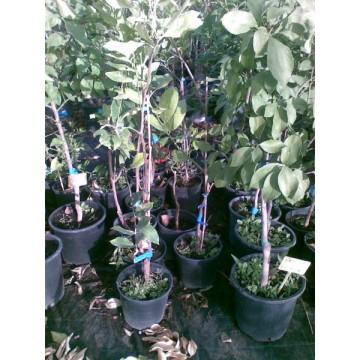 Limonero verna en maceta de 20 cm c tricos y frutales - Limonero en maceta ...