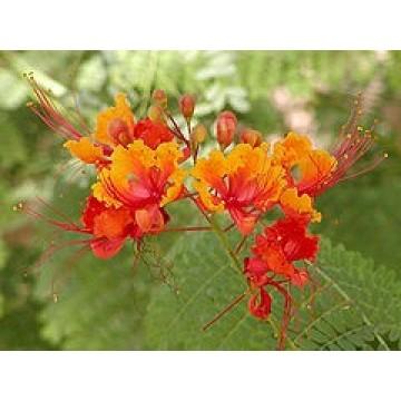 Caesalpinia gilliesii en maceta 25 cent metros rboles arbustos y setos forestales 3079549 - Caesalpinia gilliesii cultivo ...