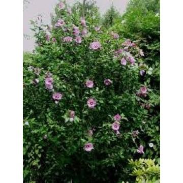 Hibiscus syriacus rbol rboles arbustos y setos for Hibiscus arbol