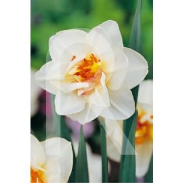 Sobre Bulbos Narciso doble CropolisBlanco centro amarillo