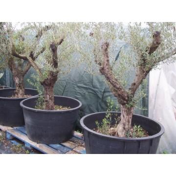 Olivo en maceta de 130 litros c tricos y frutales - Olivo en maceta ...