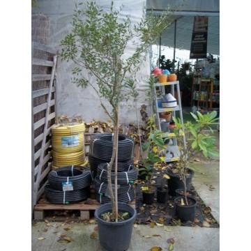 Olivo en maceta de 30 cent metros olivar 3081273 - Olivo en maceta ...