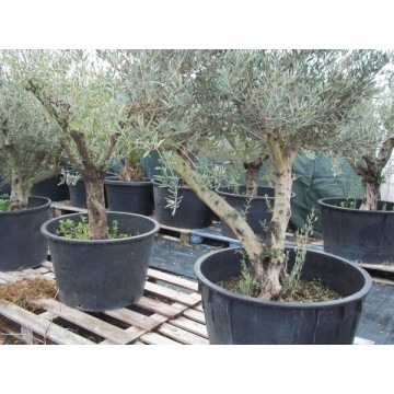 Olivo en maceta de 75 cm olivar 3081270 agroterra Viveros en girona