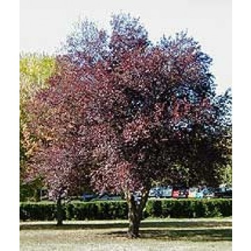 Arbol de prunus pisardi nigra ciriuelo hojas rojas for Arboles de hoja perenne para jardin