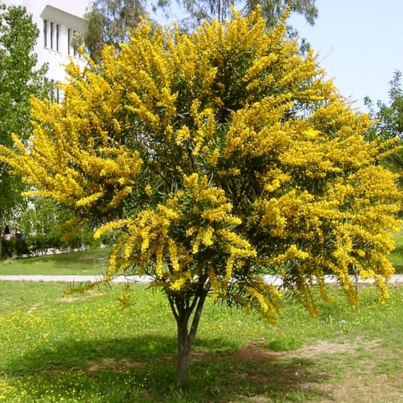 MUNDO VEGETAL Acacia-mimosa-longifolia-en-maceta-de-25-centimetros___3081796