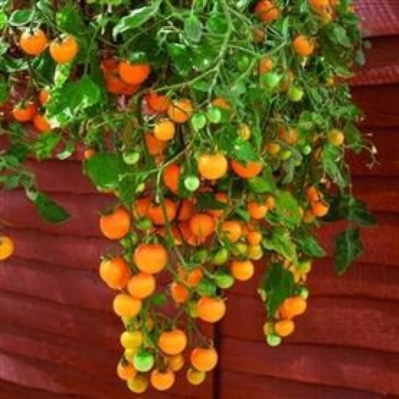 Como plantar tomates ojeda roger y el mundo ecol gico - Tomates cherry en maceta ...