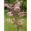 Foto de Prunus Padus Colorata