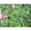 Foto de Bandeja 6 Plantas Fresas del Bosque